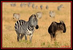 ZEBRA WITH WILDEBEEST ON PLAINS OF MARA......OCT 2012 (M Z Malik) Tags: africa nikon kenya wildlife ngc safari masaimara keekoroklodge d3x exoticafricanwildlife 200400mm14afs