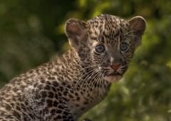 Javan Leopard Cub (Blitzknips) Tags: tiere ngc npc leopard bigcat katze tierpark katzen tierparkberlin flickrbigcats