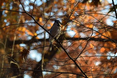 Nothing Like the Sun (Marcela McGreal) Tags: new york blue tree bird fall sol leaves garden botanical arbol nikon jay bronx branches otoño pajaro d3300