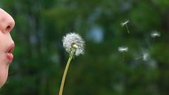 the answer, my friend (bkellerstrass) Tags: bewegung movement pusteblume dandelion