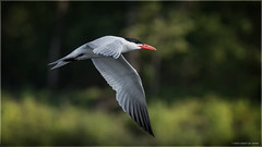 Tern - Explored August 19, 2016 (Chris Lue Shing) Tags: nikond7100 tamronsp150600mmf563divcusd bird aurora newmarket nokiidaatrail mckenziemarsh tree summer nature ontario canada caspiantern bif birdinflight action chrislueshing