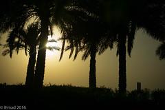 Silhouette of palms... (EHA73) Tags: summiluxm11450asph leica leicamp typ240 silhouette palms golden kuwait salmiya scientificcenter trees shadows