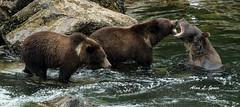 AJ2_7981 copy (alj70) Tags: alaska baranofisland brownbear hiddenfalls grizzlybear