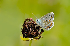 Summertime Blue...... (klythawk) Tags: commonblue polyommatusicarus tiny summer nature green brown orange yellow blue grey black white olympus em1 omd 100400mm panasonic claypitnaturereserve wildlifetrust sssi wilford nottingham klythawk