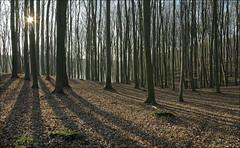 Glck (*Gegenlichtfreundin*) Tags: deutschland germany mecklenburgvorpommern mv mecklenburgischeseenplatte schlavenkensee naturschutzgebiet sonnenstern buchenwald gegenlicht wintersonne