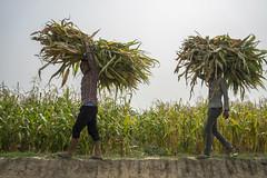 Farm workers harvest maize in Shankarbasti, Bardiya. (CIMMYT) Tags: nepal csisa cimmyt maize agriculture smallholder farmer mechanization asia