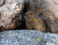 Pika (Dru!) Tags: devilsrange kootenay kootenays valhalla valhallas boulder talus snafflehound pika ochotona princeps bc britishcolumbia canada