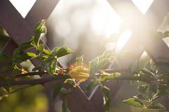 sunset (olgabrezhneva) Tags: nature leaf green summer outmn traveling travel belarus      natural flora        minsk outdoor