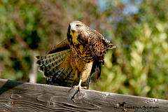 THE MAGICIAN (Aspenbreeze) Tags: swainsonshawk hawk bird wildbird raptor wildraptor coloradobirds coloradowildlife nature avian country rural fence trees bevzuerlein aspenbreeze moonandbackphotography