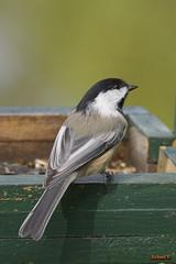 Mésange à tête noire - 08608 (rivai56) Tags: oiseau du québec mésange à tête noire
