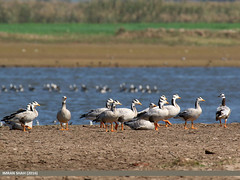 Bar-headed Goose (Anser indicus) (gilgit2) Tags: avifauna barheadedgooseanserindicus birds canon canoneos7dmarkii category fauna feathers geotagged headmarala imranshah location pakistan punjab species tags tamron tamronsp150600mmf563divcusd wildlife wings gilgit2 anserindicus