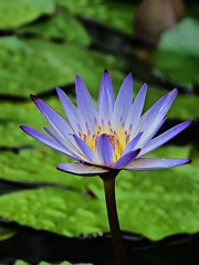small purple lily (oneroadlucky) Tags: nature plant flower lotus waterlily purple