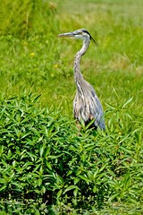 Blue on Green (brev99) Tags: topazdenoise nikviveza greatblueheron crescentpark d7100 tamron70300vc bird ngc foliage green pond marsh highqualityanimals