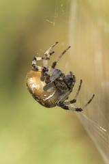 Orb weaver - araneus quadratus (Anne Richardson) Tags: macro nature wildlife arne dorset arachnid spider orbweaver