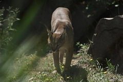 074_Great Cats Park_Caracal (steveAK) Tags: greatcatsworldpark caracal