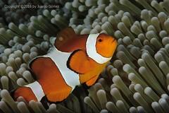 Nemo (Juanjo Gomez) Tags: nemo indonesia maratua
