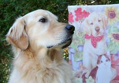 Sunny 36/52 (Lianne (calobs)) Tags: 52 weeks for dogs golden retriever
