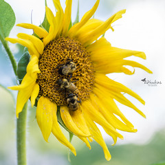 After the rain....SUNSHINE (BHawk Photography) Tags: sunflower bees summer indiana bhawkinsphotography