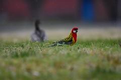 Eastern Rosella (Luke6876) Tags: easternrosella rosella parrot australianwoodduck woodduck duck bird animal wildlife australianwildlife depthoffield rain