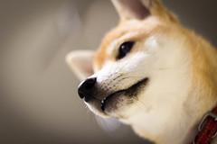 Yotsuba365 Day85 (Tetsuo41) Tags: shibainu yotsuba dog
