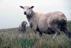 Bedraggled - ewe and lamb (mpp26) Tags: ewe lamb bedraggled wet day rain sheep spring