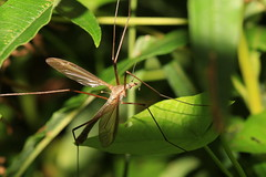 Crane fly (patwyse152) Tags: insect nature kildare ireland canon macro