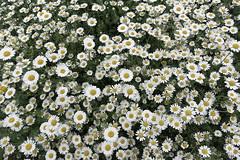 Flower-patterns-from-around-the-world--Chamomile--DSC07452 (mbgmbg) Tags: chamomile desaturate flowers hamhouse i0genc16 kw2flickr kwgooglewebalbum kwphotostream5 kwpotppt london patternsofsmallsummerflowersfromaroundtheworld series seriesflowerpatternpower summerflowers takenbymarkgerstein