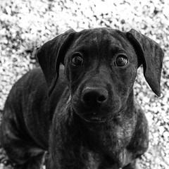 Windy27Aug1600038-Edit.jpg (fredstrobel) Tags: dogs pawsatanta phototype atlanta blackandwhite usa animals ga pets places pawsdogs decatur georgia unitedstates us
