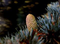 Im Wald (simson60) Tags: bokeh tanne