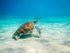 IMG_3170a (PicNic Cards) Tags: turtle bluewater scubadiving curacao dutchcaribbean summer