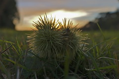 Chestnut (Deepgreen2009) Tags: prickly chestnut seed casing defence ground fallen autumn tree sunset garden home