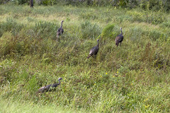 KSC-20160830-PH_JBS02_0006 (NASAKennedy) Tags: wildlife wildturkeys