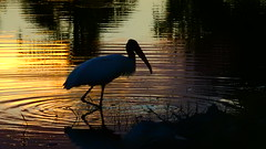 Wood Stork (Jim Mullhaupt) Tags: woodstork stork woodibis wader bird water pond lake swamp wildlife nature landscape background wallpaper outdoor bradenton florida nikon coolpix p900 jimmullhaupt sunset photo flickr geographic picture pictures camera snapshot photography nikoncoolpixp900 nikonp900 coolpixp900