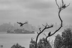 Turkey Vultures SF (lycheng99) Tags: turkeyvultures sanfrancisco sanfranciscobayarea sanfranciscotravel sfbayarea sf sfskyline angelisland bayarea downtown blackandwhite tree birds birdinflight