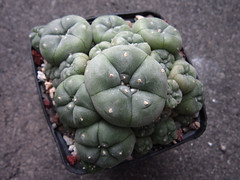 Lophophora williamsii caespitosa (juan_y_ana) Tags: lophophora williamsii caespitosa