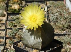 Astrophytum coahuilense (Resenter89) Tags: cactus piante grasse succulente cacti kakteen cactaceae astrophytum coahuilense yellow flower desert mineral soil mix coahuila mexico flowerscolors 10