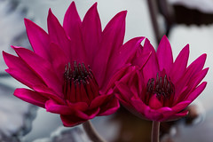 Hot colors (Irina1010_out for a while) Tags: waterlilies cyclamen hotcolor catchy flower pond nature canon water