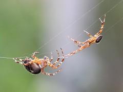 Handle With Care....... (bugpics99) Tags: macromondays handlewithcare hmm garden orbweaver spider araneusdiadematus bokeh canon eos 550d ef100mmf28l