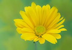 Yellow Mum (Sandyp.com) Tags: macro flower topazsoftware sonyalpha sonya7rii mum yellowmum chrysanthemum