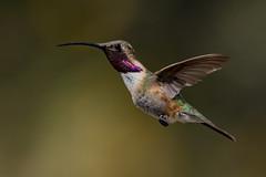Adult Male Lucifer Hummingbird (Calothorax lucifer) - Ash Canyon in Hereford, AZ (bcbirdergirl) Tags: male adult luciferhummingbird rare ashcanyon az arizona usa calothoraxlucifer sierravista hereford