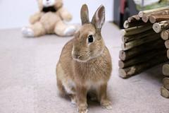 ICHIGO san 389 (mensore) Tags: rabbit bunny netherlanddwarf brown cute pet family ichigo