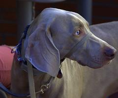 Young Blue Eyes (swong95765) Tags: blueeyes eyes dog animal canine cute profile innocence calm leash pet