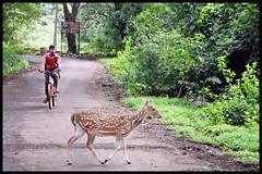 Man - Animal  =  NO CONFLICT  @SGNP @Mumbai (indianature13) Tags: sgnp sanjaygandhinationalpark forest westernghats indianature india maharashtra monsoons september 2016 cityforest urban mumbai bombay borivili borivali borivalinationalpark wildlife deer spotteddeer spotteddeersgnp adivasi adivasipada