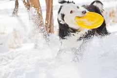 Shake (Anda74) Tags: winter snow yellow action shake frisbee bordercollie ouzo canonef50mmf14usm