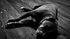 Old Pup (pabloRlopez) Tags: dog old pier ventura beach socal california pup pablorlopez nap time for sure how many tags can write without breathing omg running out breath hear ye argh im pirate see fear me sea ocean