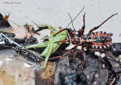 Rhynocoris rubricus vs Orthoptera (Marcello Consolo) Tags: insectos insects animalia arthropoda insectes insetti insecta taxonomy:class=insecta taxonomy:kingdom=animalia taxonomy:phylum=arthropoda taxonomy:common=insects taxonomy:common=insectes taxonomy:common=insetti taxonomy:common=insectos
