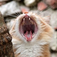 i musciii (robgarbage) Tags: red cats cat mouth countryside kitten pussy yawn kittens campagna jaws felino felini roar puss gatto gatti bocca sbadiglio musci denti ruggito fauci toohs