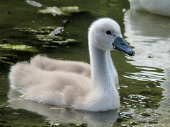 Swan baby (ursand) Tags: baby macro bird nature animal closeup germany deutschland swan pond natur chick teich schwan tier vogel chicklet kken