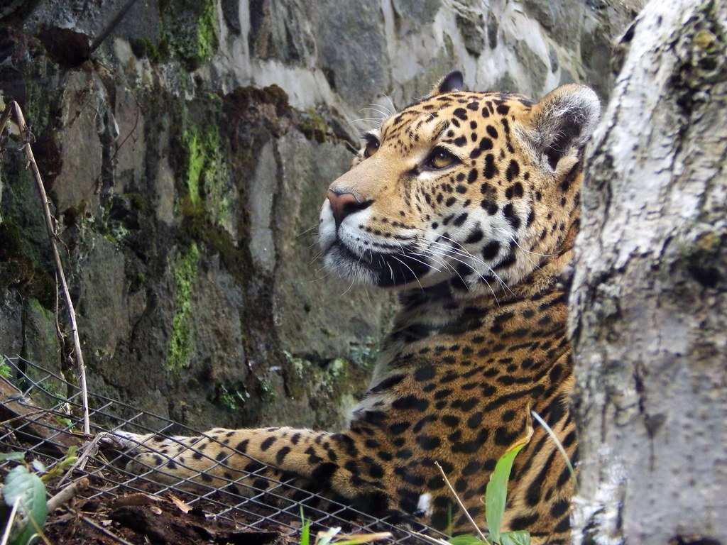 Nice ... Dacc Jaguar Spot Jaguar Spots Related Keywords Jaguar Spots ...