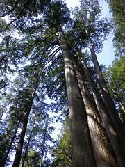 Chichibu, Saitama '13 #3 (tt64jp) Tags: tree history japan forest japanese shrine religion cedar sacred  saitama spiritual   japon sanctuary  chichibu     shintoism     lhistoire    lhistoire  mitsumineshrine